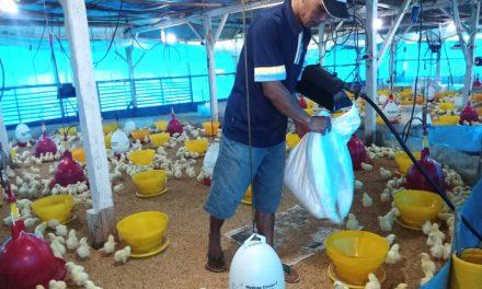 Harga Jual Ayam Terus Merosot, Peternak Ayam Minta Diperhatikan Pemkab Sumedang