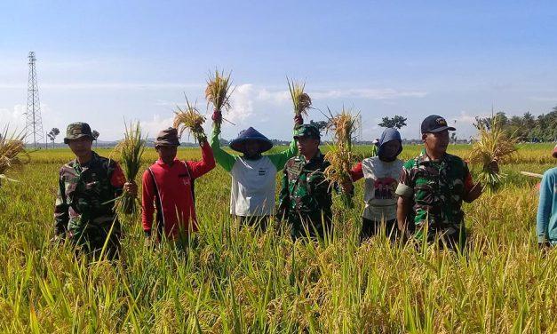 Momen Panen Raya, Koramil 07/Maos Dampingi Petani di Dua Desa