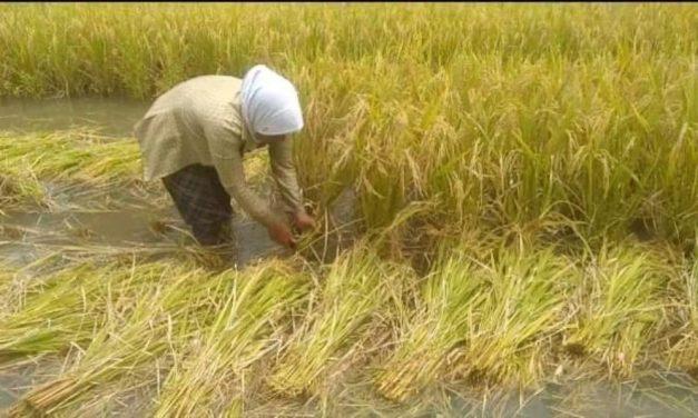 Hasil Panen Padi 16.029 Hektare di PangandaranCapai 57.427Ton