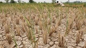 Kekeringan, Areal Pertanian di Tasikmalaya Terancam Gagal Panen