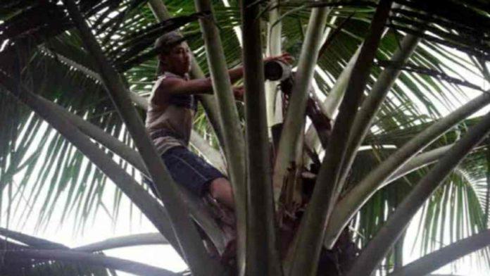 Penderes nira kelapa di Pangandaran
